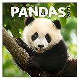 Pandas Wandkalender 2021 Kalender, Broschürenkalender mit Monatskalendarium, Broschurkalender Tierkalender 30 x 30 cm (30x60 Geöffnet)