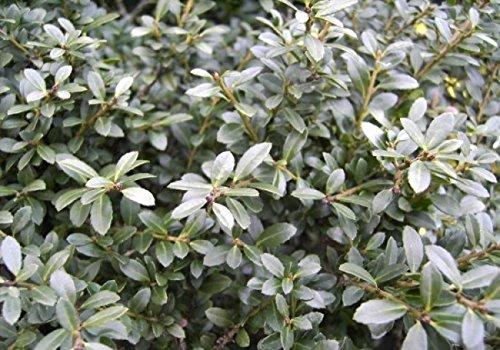 Ilex crenata Stokes - Buchs-Ilex Stokes - Niedriger Berg-Ilex Stokes - Japanischer Zwergilex - Japanische Hülse - Preis nach Größe 25-30cm