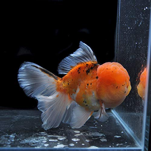【金魚王子】変わり柄ローズテールオランダ(13.5センチ前後) 個体番号dfg201 金魚 きんぎょ 生体 オランダ 厳選個体