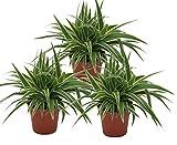 Grünlilie, (Chlorophytum comosum), luftreinigende Zimmer und Büropflanze, (3 Pflanzen je im 12cm Topf, Sorte: Ocean)