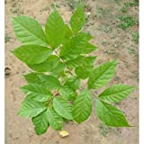 1 Healthy Live Plant Comes With Secure Packing Rare for Collection : Suitable for Indian Climate Safe & Quick Delivery by Amazon Note: The image is for reference purpose only. The actual product may vary in shape or appearance based on climate, age, ...