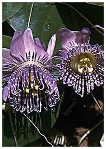 TROPICA - Grenadille douce (Passiflora ligularis) - 20 graines- Magie tropicale