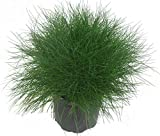 Festuca gautieri - Bärenfell-Schwingel - 11 cm Topf Ziergras - immergrün mehrjährig winterhart - Kübelpflanze oder Beet-Staude