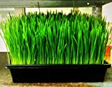 Wheatgrass, Wheat/cat Grass, Sprouts, 240 Seeds! Groco