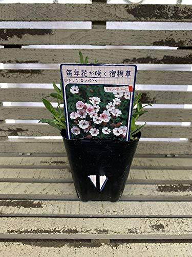 【花苗】 シレネ コンパクタ 9cmポット 1苗
