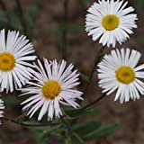 Blumixx Stauden Erigeron Hybride 'Sommerneuschnee' - Feinstrahlaster im 0,5 Liter Topf weiß blühend