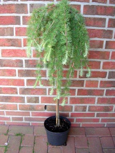 Lärchen-Stamm, Höhe: 110-120 cm, grüne-bläuliche Nadeln, Larix decidua Puli + Dünger
