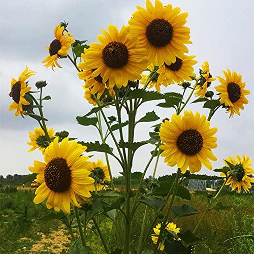 Fnho Pflanzen für Balkon und Terrasse,Blumensamen für Garten Balkon,Sonnenblumenarten, Vier Jahreszeiten Zierpflanzen Pflanzen-Mischen_100 Getreide
