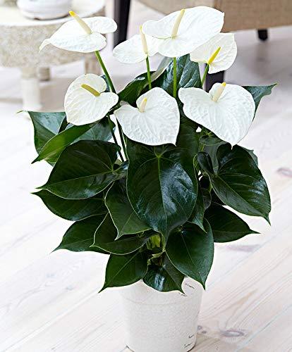 Keland Garten - 50pcs Rarität Anthurie weiß Flamingoblume Zimmerpflanzen Bonsai pflegeleicht Blumensamen winterhart mehrjährig für Blumentopf/Terrasse/Balkon