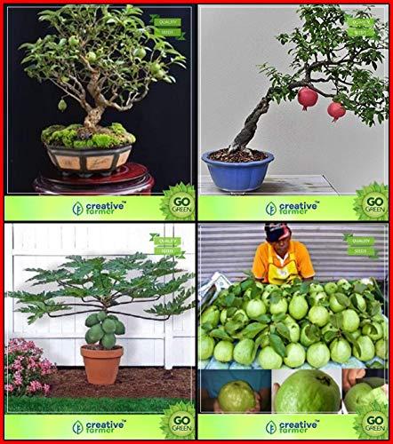 BloomGreen Co. Semillas para la venta Combo de Bonsai adecuados: Psidium guayaba, pomagranate, papaya, guayaba Tailandia Semillas Bonsai SuitableFruit para jardín