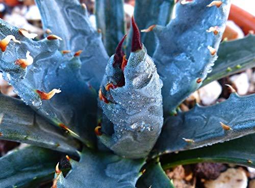 HONIC 10 Agave Utahensis Blaue Form Samen Samen Korn semillas Rare