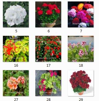 2016 New geranium Seeds Garden Bonsai Usine Semences-100pcs Variétés Graines intérêt fleurs vivaces à feuilles persistantes