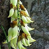 Semillas para plantación, 100 unidades/bolsa de semilla de flor magnífica resistente a la sequía productiva atractiva bonsai semilla para patio - blanco Mucuna Birdwoodiana