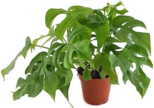 Fangblatt - Monstera Minima - schiefes Fensterblatt - wundervolle Grünpflanze, perfekte Dekoration für Ihr Zuhause