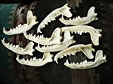 Real Coyote Jaw Bone Knife Handle Crafts Animal Bones Skull (10 PACK)