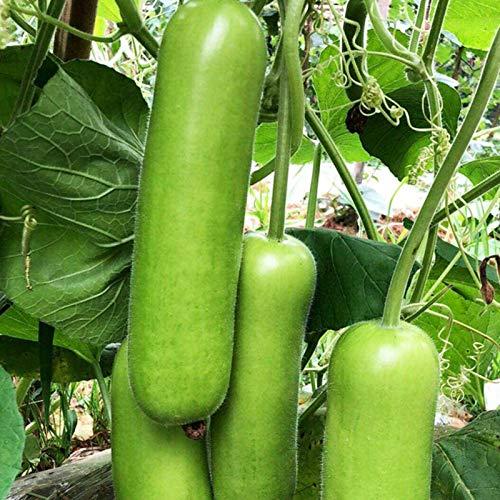 P12cheng Zucchini-Samen, 30 Stück/Beutel, ohne Gentechnik, nahrhaft, grüne Pflanzung, Gemüse-Setzlinge für den Bauernhof – Zucchini-Samen