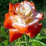 luo-401xx 40pcs semi di fiori di rosa, bonsai profumati perenni belli facili da coltivare per la decorazione del cortile del giardino di casa arancianone semi di rosa