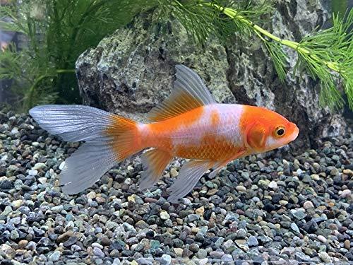 国産金魚 コメット 個体サイズ約:6~8cm
