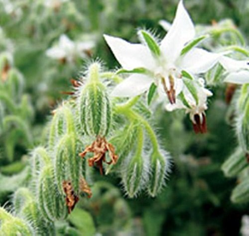 Bourrache Blanc - Borago officionalis - 100 Graines