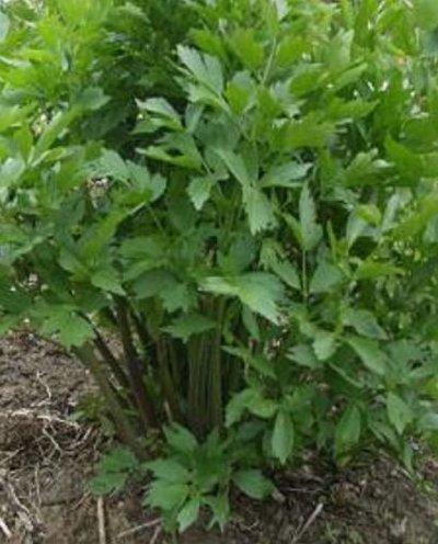 Heirloom herbes aromatiques livèche - 200 graines - Médicament culinaire thés 8/3 Ft haute (.91-2.4m)