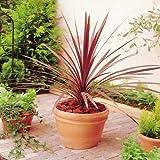 Keulenlilie Red Star - 1 pflanze
