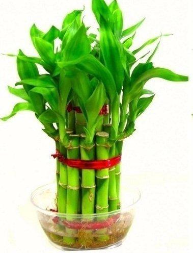 Guru 24 Hours Lucky Bamboo Plant