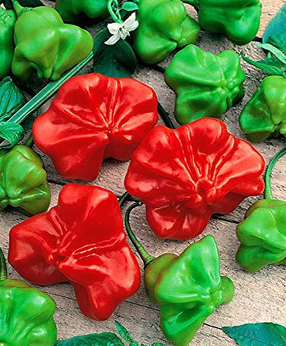 Qulista Samenhaus - 100pcs Duftend Paprikasamen Jamaikanische Paprika aromatisch-süß Gemüse Samen Mischung mehrjährig winterhart für Töpfe, Kästen und Pflanzkübel