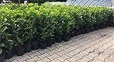 Prunus lauroc.'Novita' winterharte Kirschlorbeer 40-60cm im Topf gewachsen