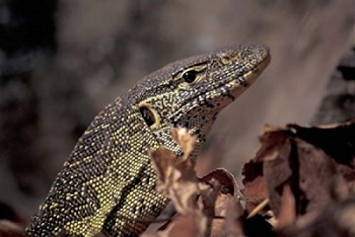 The Poster Corp Kristin Mosher/DanitaDelimont – Nile Monitor Lizard Gombe National Park Tanzania Photo Print (88,70 x 59,28 cm)
