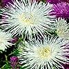 アスター - ユニコムニードル - ホワイト - 50種子