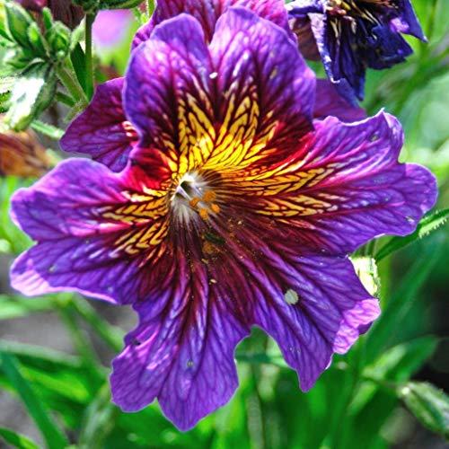 SANHOC Graines Paquet: GROSEEDS - Fleurs annuelles, Salpiglossis - Boléro F2 - FA-SALP-01. 10 minimum par PacketSEED