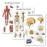 3 Pack - Muscle + Skeleton + Brain Anatomy Poster Set - Muscular and Skeletal System Anatomical Charts - Laminated - 18' x 27'