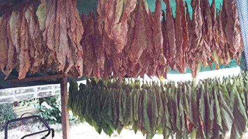 7x1000 7 Sorten Tabaksamen Ganz frische Samen Ernte 2020 Echter Rauchtabak Tabakpflanzen