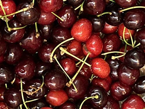 1st. Süsskirsche Lapins Kirschbaum100-150cm im Topf selbstbefruchtend Kirsche Obst Busch