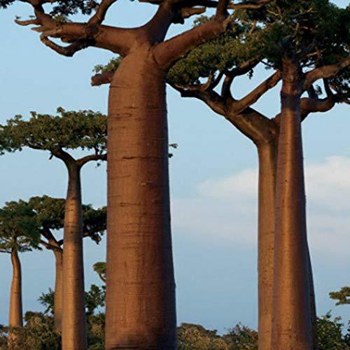 Cioler 20 stücke Affenbrotbaum Samen Seltene Baobab Baum Samen Bonsai Pflanzen Hausgarten Baobab Adansonia digitata