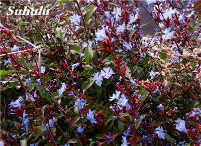 50 Pcs Arabis Alpina neige Graines de pointe extrême froid résistant jardin Bonsai Rare Belle plante et mur fleur Arabette 12