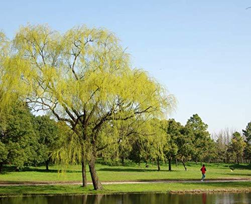 Beautytalk-Garten Rarität Trauerweide Samen Hängeweide Baumsamen Großen Baum Samen Einfach Wachsen Baumsamen Saatgut winterhart mehrjährig Zierbaum für Balkon/Garten