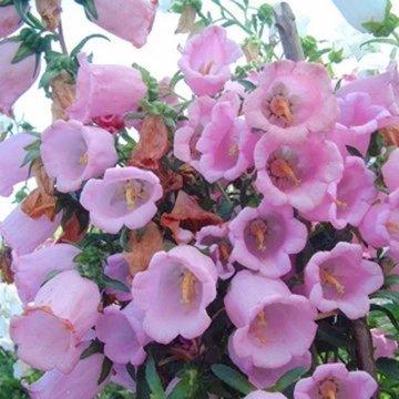 vente Big Graines de fleurs Campanula trèfle petit bonsaï 100 PCS / sac d'emballage d'origine jardin Bonsai Tree Decor Pots Pl