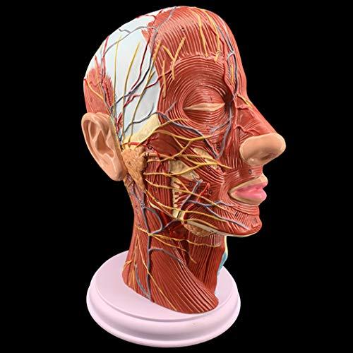 WJH Halbleiter Oberflächliche Neurovaskulärer Modell mit Muskulatur, Leben Größe für Anatomische Teach und Halsgefäße Krankenschwester Study Ausbildung
