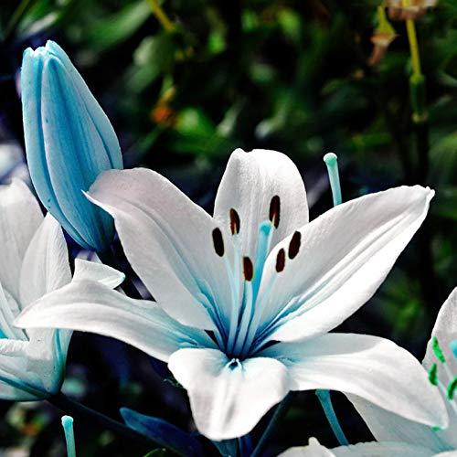 Blaue Lilien-Samen, 1 Tasche Lilien-Samen Flourishing Krankheitsresistente Blau Auffällige Blumen-Samen für Garten