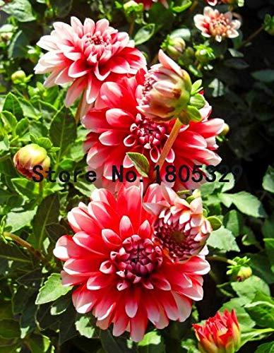 Bloom Green Co. La graine de dahlia rouge, fleurs en pot et 100 graines/many bricolage Home Mobilier de jardin: 1