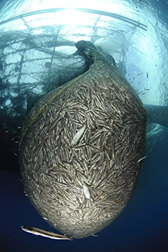 Net full of Ikan Puri a small anchovy like fish under a fishing platform captured using a lift net and high powered lights during the nightime West Papua Indonesia Poster Print (22 x 34)