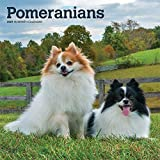 Pomeranians 2021 12 x 12 Inch Monthly Square Wall Calendar, Animals Small Dog Breeds