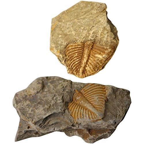 VILLCASE 2Pcs Paläontologie Fossil Sammlung Trilobite Fossil Probe Wissenschaft Probe Ornamente Schule Student Biologischen Wissenschaft Pädagogische Lehr Requisiten