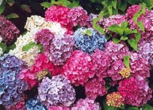 Collection of 3 Hydrangea SHRUBS All Labeled in 9cm POTS Healthy Plants