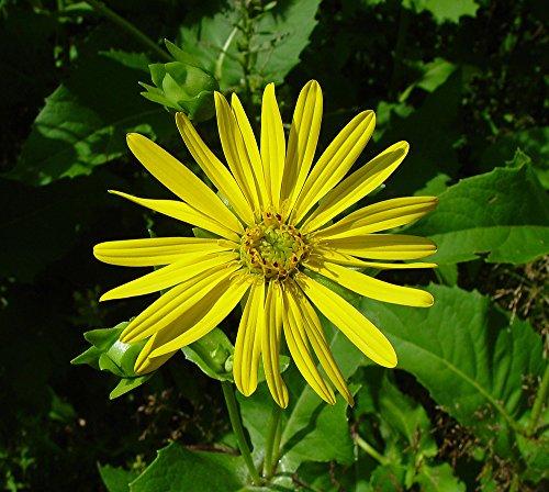Chinis 100 Samen Silphium Silphium Perfoliatum Perennial Futterqualität Samen Bonsai Pflanze