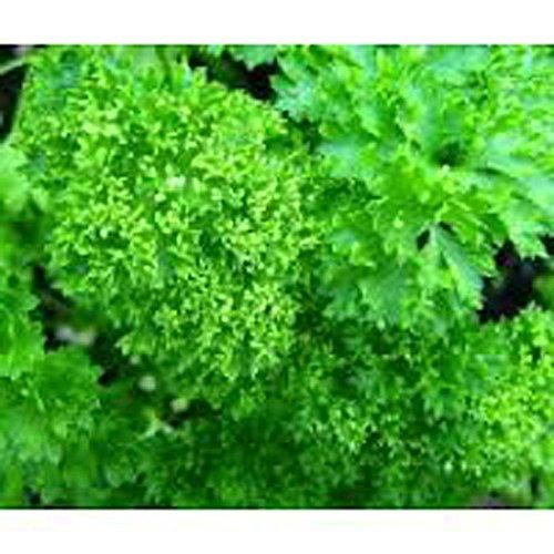 Persil, Frisé mousse Graine Parsely, biologique, sans OGM, 200 graines par paquet.