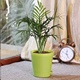 Ugaoo Air Purifying Bamboo Palm Plant with Self Watering Pot