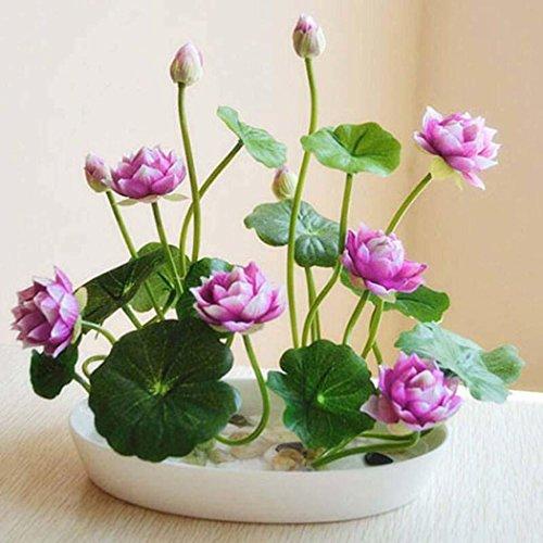 Acecoree Samen Haus- Mini Lotus Samen,Wasserpflanzen Hydroponische Blumen Zimmerpflanzen mehrjährig Kräuter Lotus Pflanzen Saatgut