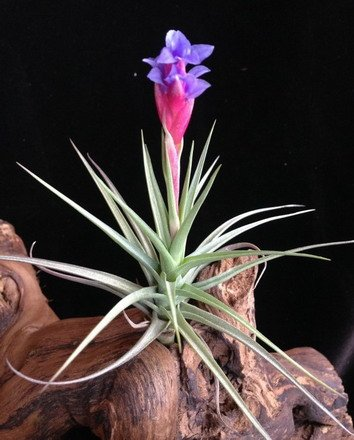 WFW wasserflora Tillandsia aeranthos